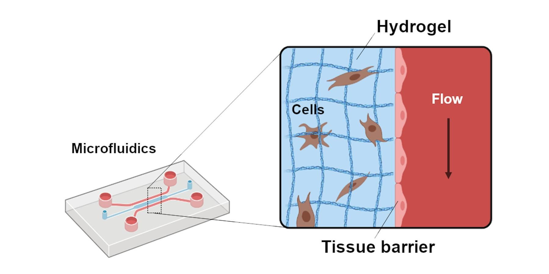 Detail of the microfluidic system, the tissue barrier and the hydrogel